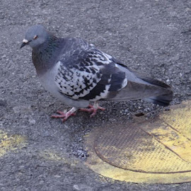 Pigeon in Pigeon Forge, TN by Theresa Campbell - Novices Only Wildlife (  )
