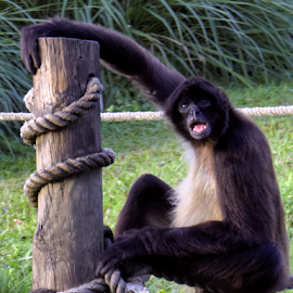 Spider Monkey Hanging Out by Jill Nightingale - Novices Only Wildlife ( holding on, spider monkey, hanging on, ateles, wildlife, mammal, hanging in, hold on, monkeying around, hang on, monkey, animal, hang in there )