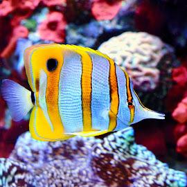 Fish by Jose Matutina - Animals Fish ( water, color, fish, aquarium, wildlife )
