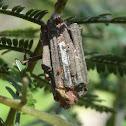 Black wattle stick casemoth