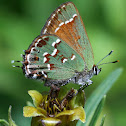 Olive Hairstreak