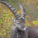 Alpine ibex (Steinbock)