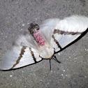 Lymantrid Moth