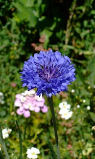 Cornflower wallpapers - screenshot
