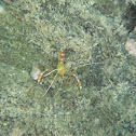 Golden Coral Shrimp