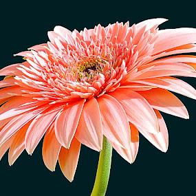 pink gerber by LADOCKi Elvira - Flowers Single Flower ( nature, color, 22014, plants, flowers, garden,  )