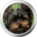 Yorkshire Terrier Clock Widget icon