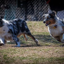 The Chase is on by Ron Meyers - Animals - Dogs Running