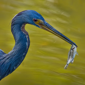 Tricolored Heron with a Fish by Martin Belan - Animals Birds ( tricolored heron, heron fishing, fishing, heron, birds,  )
