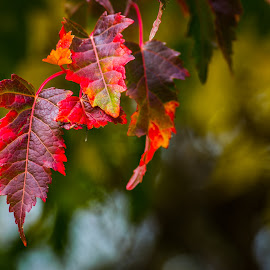 Leaves by Laimis Urbonas - Nature Up Close Leaves & Grasses ( red, nature, red chicago, fall, leaves )