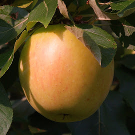 Apple by Ad Spruijt - Nature Up Close Gardens & Produce ( apple )