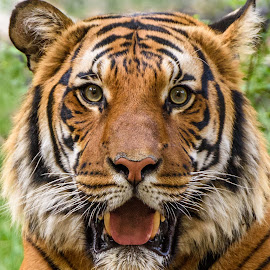 Male Tiger - Selfie by William Sawtell - Animals Lions, Tigers & Big Cats ( selfie, nature, tiger, male tiger, wildlife,  )