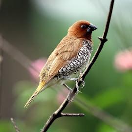 Scaly breasted munia by Sankaran Balaji - Animals Birds