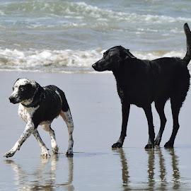 Dogs Thread Cautiously by Jose Matutina - Animals - Dogs Playing ( canine, pet, beach, dog, huntington beach, animal,  )