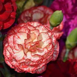 Carnations by Cassie Geurin - Nature Up Close Gardens & Produce ( Flowers, Flower Arrangements,  )