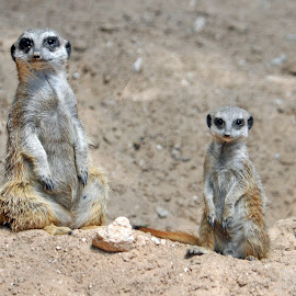 Meerkats by Dawn Hoehn Hagler - Animals Other Mammals ( litchfield park, wildlife world zoo, zoo, baby animal, meerkats )