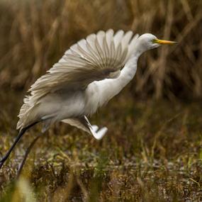Great Egret by Debajit Bose - Animals Birds ( bird, white bird flying, white bird, bharatpur, india, egret flying, egret, animal )