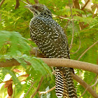 Asian Koel (female)