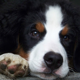 Reflecting on the day's adventures by Kristen Barth - Animals - Dogs Puppies ( headshot, puppies, dogs, bernese mountain dog, puppy, portrait )