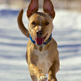 Happy Pup by Matt Connors - Animals - Dogs Running ( jack russell, dogs, pitbull, pit bull, dog )