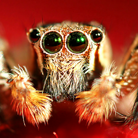 by Fentee  Affandy - Animals Insects & Spiders ( macro photography, spider, insect )