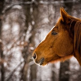 Horse by Daniel Yaroschevsky - Animals Horses ( cold, horse, snow )