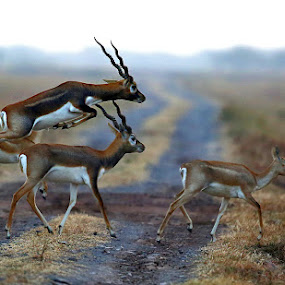 blackbucks by Sathya Vagale - Animals Other Mammals