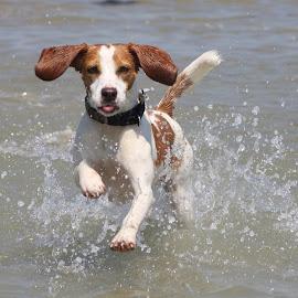 Cheeky beagle :) by Paul Dogman - Animals - Dogs Running (  )