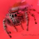 (Subadult) Jumping Spider