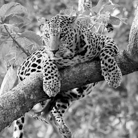 Leopard by Sankaran Balaji - Black & White Animals ( mammals, animals, nature, style, black and white, leopard )