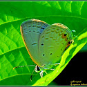 Oriental Gram Blue Butterfly (Male)
