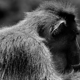 Profile! by (GG) Girinath G - Animals Other ( nature, wildlife, nikon, lens, photography, monkey, animal )
