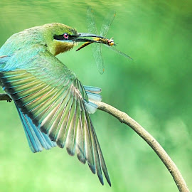Blue-tailed bee-eater by Prasanna Bhat - Animals Other