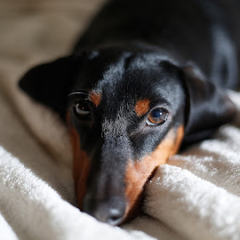 Thor by Isaac Golding - Animals - Dogs Portraits ( flash, strobist, dachshund, dog, portrait, flash photography )