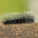 Woolly Bear moth Caterpillar