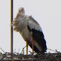 White Stork; Cigüeña Blanca