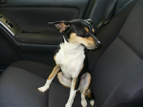 The terrier in my front car seat.