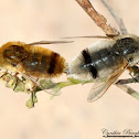 Bee Fly (mating)