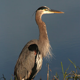 A Great Blue Heron by Rhonda Mullen - Animals Birds