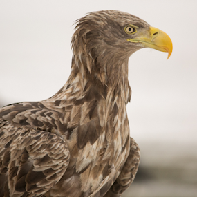 His Majesty by Marsilio Casale - Animals Birds ( bird, wild, eagle, nature, sea eagle, animal,  )