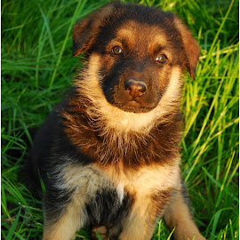 German Shepherd by Vlad Toma - Animals - Dogs Portraits ( puppy, dog, shepperd )