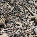 Western Side-blotched Lizards