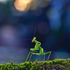 Mantis Style by Zoelman Rf - Animals Insects & Spiders