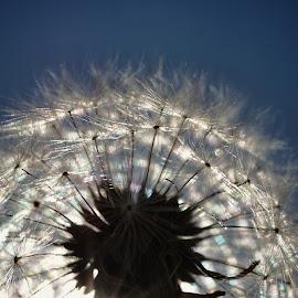 Dandelion extraordinaire by Steven Maerz - Nature Up Close Other plants ( macro, nature, dandelion, silhouette, flower )