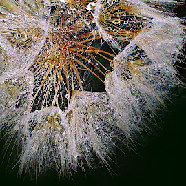 Her Majesty - Goatbeard by Marija Jilek - Nature Up Close Other plants ( natzure up close, majety, up close, nature, goatbeard, plants, drops, seeds, not macro, majesty nature )