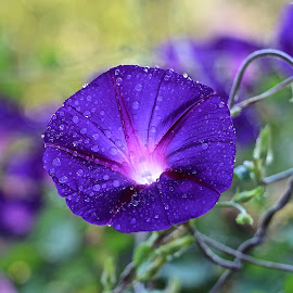 Morning Glory by Kathy Suttles - Nature Up Close Other plants