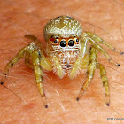 Cyclops Jumping spider