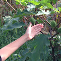 Jimson Weed; Datura