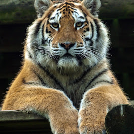 Siberian Tiger by Garry Chisholm - Animals Lions, Tigers & Big Cats ( garry chisholm, predator, carnivore, nature, tiger, wildlife )