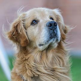Golden by Cristobal Garciaferro Rubio - Animals - Dogs Portraits ( retrievers, dog, golden, golden retriever )